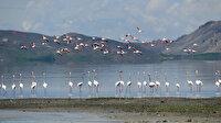 Van Gölü Havzası'nda flamingoların görsel şöleni