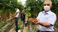 Toprak yerine Hindistan cevizi kabuğuna domates ekiyor: Haftada 35 ton hasat ediyor