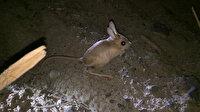 Iğdır'da nesli tükenmekte olan kanguru faresi görüntülendi