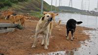 Belediye sokak köpeklerini buraya bırakıp gidiyor: Kuzey Marmara Otoyolu tehlike saçıyor