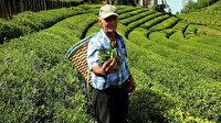 ÇAYKUR beyaz çayın kilogramını 600 liradan alacak