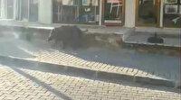 Muğla'da yiyecek  aramak için şehir merkezine inen domuz böyle görüntülendi