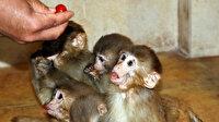 Sınırdan kaçak yollarla yurda sokulmak isteyen 12 yavru maymunu bakıcıları elleriyle besliyor