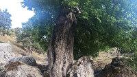 Görenler hayran kalıyor: 400 yıllık ceviz ağacı yıllara meydan okuyor