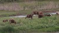Suları çekilen 'Kızılırmak' hayvanlara otlak oldu