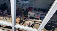 Başakşehir'de çifte pitbull dehşeti: 16 yaşındaki Mine ölümden döndü
