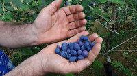 Trabzon'da bir dönüm araziye ekti: Yıllık 100 bin lira gelir elde etmeye başladı