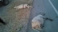 9 koyunu telef etti: Kaçarken plakayı bıraktı