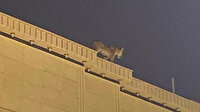 Suudi Arabistan'da evin çatısında dolaşan aslan paniğe neden oldu