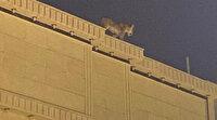 İnanılmaz görüntü: Çatıda dolaşan aslan paniğe neden oldu