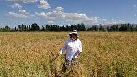 Ümrahanım Tritikale'nin annesi buğday babası çavdar: Islah ettiği buğdaya kendi adını verdi