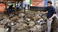 Ağıla giren kurtlar 103 koyunu telef etti