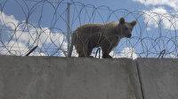 Ağrı'da sınırdaki güvenlik duvarının üzerinde mahsur kalan yavru ayı kurtarıldı