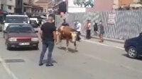 Zonguldak'ta kurban pazarından kaçan dana trafiği birbirine kattı