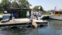 Kasımpaşa'dan denize atlayan kurbanlık Balat sahiline kadar yüzdü
