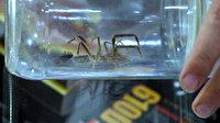 Yakalayıp kavanoza koydu: 'Sarıkız' örümceğine iş yerinde bakıyor