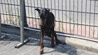 Doberman istasyonun tellerine sıkıştı: Vatandaş kurtarmak için seferber oldu