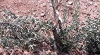Vicdansızlar: Zeytin ağaçlarını kırıp attılar
