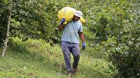 Giresun'da fındık işçisinin günlük yevmiyesi asgari 120 lira olacak
