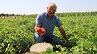 Bu domatesler tarladan toplanıyor 20 metre ilerideki pazarda satılıyor