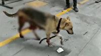 İBB'nin kısırlaştırdığı köpeğin içler acısı hali: Bağırsakları dışarı çıktı