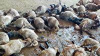 Hayvan pazarına giren sokak köpekleri 40 küçükbaşı telef etti