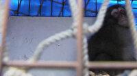 Havalimanında vahşi maymun alarmı: Beş saatte yakalandı