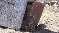 Ağrı'da koruma altına alınan yavru kurtlar doğaya salındı