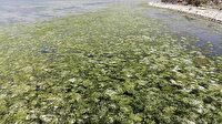 Deniz adeta yeşile büründü: Görülmeye devam ediyor