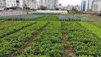İstanbul'un göbeğinde binaların ortasında 20 çeşit sebze yetişiyor: Gören şaşkınlıkla izliyor