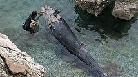 Antalya'da karaya vuran yalancı katil balına Atlantik'ten gelmiş