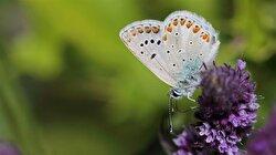 Fotoğrafçılar Apollo Kelebeği'nin peşine düştü