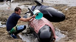 New Zealand warns of exploding whale carcasses after mass stranding