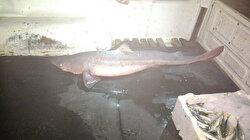 Bartın'da köpekbalığı operasyonu