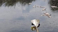 Eber Gölü'ndeki balıklar ölüyor
