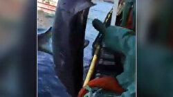 Balıkesir'de nesli tükenme tehdidi altındaki köpek balığı tekme ve yumruklarla dövüldü