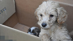 Kapıkule Sınır Kapısı'nda kutu içinde uyutulmuş halde 14 terrier cinsi köpek ele geçirildi