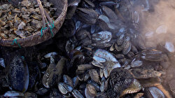 13.5 tons of illegally hunted mussels seized in Turkey