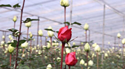 Turkey exports 60M roses ahead of Valentine's Day