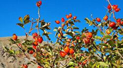 Bir avucunda bir kasa portakala eşdeğer C vitamini var: Koronavirüs salgını nedeniyle ilgi görüyor