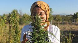 Yerli ve milli kenevirler hasada hazır: Esrar yapılamayacak