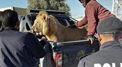 Caddede ortasında başıboş gezen bir aslan görenleri şaşırttı