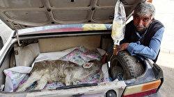 Üç günlük buzağısı hastalanınca otomobilin bagajında veterinere yetiştirdi
