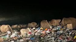 Çöplüğü basan ayılara halkın ilgisi yoğun