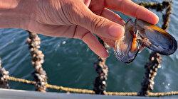 Müsilaja karşı midye çözümü: Midyeler Marmara Denizi'nde saatte 11 milyar litre suyu filtre edecek
