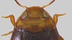 """Adıyaman'da yeni bir böcek türü keşfedildi: """"Bidessus anatolicus adiyaman"""" adı verildi"""
