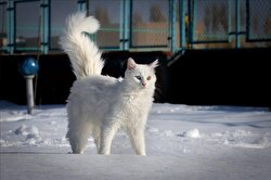 A Van cat is seen on a snow covered area at Yuzuncu Yil University (YYU)