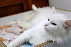 At YYÜ's Van Cat Research and Application Center, a Turkish Van cat gave birth to three healthy kittens via C-section.