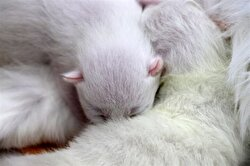 The center developed the cesarean section system, known as a hysterotomy in medical terms, for cats incapable of natural birth, to give birth to their young.