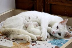 """""""To protect and continue the species of Van Cats, to help them give birth to healthy newborns, our research is ongoing and that we will continue to launch every project that is necessary,"""" Kaya said."""